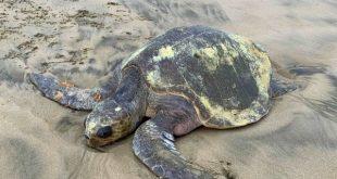 Second sea turtle rescued off the Oregon coast